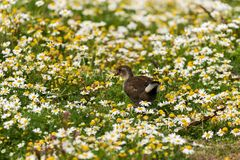 Common Moorhen Gallinula chloropus in the fields of flowers stock photos