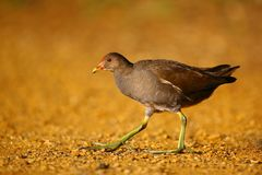 A Common Moorhen (Gallinula chloropus) walking by the river Royalty Free Stock Images
