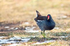 Common Moorhen Gallinula chloropus. Wild bird in a natural habitat stock photos