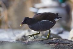Common Moorhen Gallinula chrolopus, Aves. Common Moorhen looking for food on the bank agains blurry background stock photography