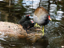 Common Moorhen Stock Photos