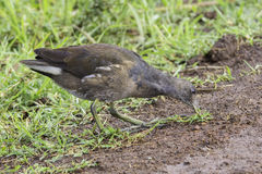 Common Moorhen, Juvenile Eating Grass Stock Photo