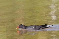 Common moorhen on a lake. Common moorhen,Gallinula chloropus, swimming in a lake on a sunny day, with head down close to the water stock images