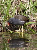 Common Moorhen Looking at it's Reflection Royalty Free Stock Image