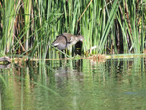 Common moorhen 3-4 months old with an open beak in the reeds Stock Photos