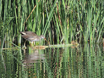 The common moorhen 3–4 months old in the reeds Stock Photography