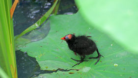 A Common Moorhen nestling. There is a Common Moorhen nestling on the  green lotus leaves Royalty Free Stock Photo