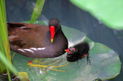 A Common Moorhen and a nestling. There is a Common Moorhen and a nestling on the  green lotus leaves Royalty Free Stock Image