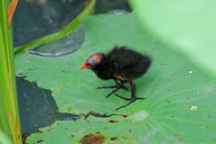 A Common Moorhen nestling. There is a Common Moorhen nestling on the  green lotus leaves Royalty Free Stock Images