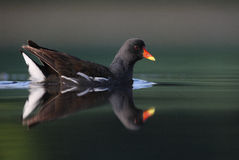 Common Moorhen. The picture was taken in Hungary Stock Photos