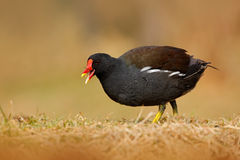 Common Moorhen, Porphyrio martinicus, walking in the grass, Brown water bird with yellow and red bill, Czech republic Royalty Free Stock Images