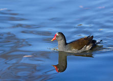 Common Moorhen Reflection Royalty Free Stock Photo
