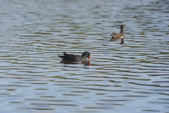 Common Moorhen in a Remote Pond Stock Photos