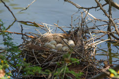 Common Moorhen's Nest with Eggs Royalty Free Stock Photography
