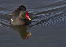 Common moorhen swimming Stock Image
