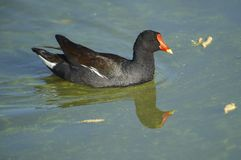 Common Moorhen Swimming In Lake Chapala Stock Image