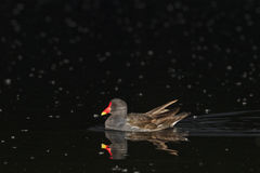 Common moorhen swimming at night Royalty Free Stock Images