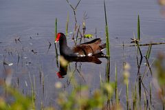 Common Moorhen (Gallinula chloropus) Swimming Royalty Free Stock Photo