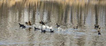 Common Moorhen swimming and running in the water Royalty Free Stock Image