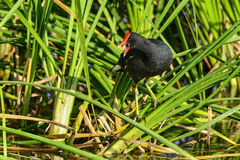 Common moorhen, viera wetlands. Common moorhen screaming out loud Royalty Free Stock Photos