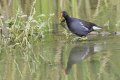 Common Moorhen, Wading Royalty Free Stock Photos