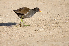 Common Moorhen Walking Royalty Free Stock Photos