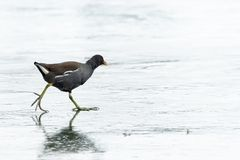 A common moorhen walking on a frozen lake stock photography