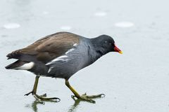 A common moorhen walking on a frozen lake stock image