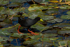 Common moorhen walking on a lake Stock Photos