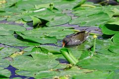 Common moorhen walking over aquatic plants Royalty Free Stock Image