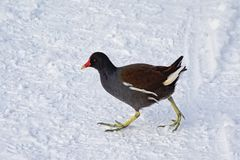 Common moorhen walking through the snow royalty free stock images