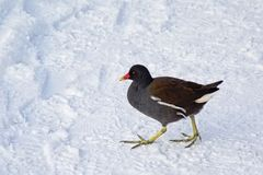 Common moorhen walking through the snow stock image