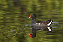 Common Moorhen in water Royalty Free Stock Image