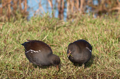 Common Moorhens. Two moorhens in their natural habitat royalty free stock image