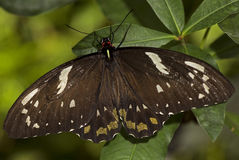 Common Mormon. Macro photo of a male Common Mormon butterfly, Papilio polytes, of the Papilionidae family stock photo