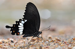 Common Mormon butterfly. Of thailand background Stock Image