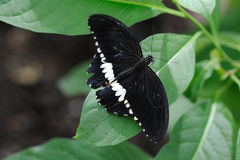 Common Mormon Butterfly. On a leaf Stock Photos