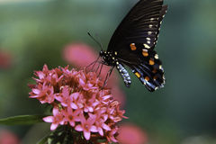 Common Mormon Butterfly. A Common Mormon Butterfly is slurping nectar from a flower Royalty Free Stock Photo