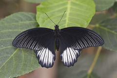 Common Mormon butterfly Stock Photography