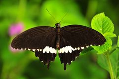 Common Mormon butterfly. The Common Mormon (papilio polytes) butterfly Royalty Free Stock Photo