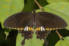 Common Mormon butterfly Stock Photo