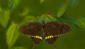 Common Mormon Butterfly Royalty Free Stock Photos