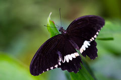 Common mormon butterfly Royalty Free Stock Photography