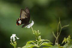 Common Mormon. Butterfly which is captured from Jessore, Bangladesh royalty free stock photos