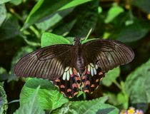Common Mormon. Butterfly with wing span in daylight delhi Royalty Free Stock Photo