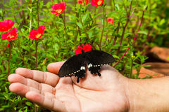 Common mormon butterfy Royalty Free Stock Photography