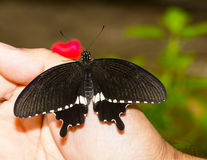 Common mormon butterfy Royalty Free Stock Images