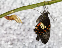 Common mormon butterfy Royalty Free Stock Image