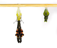 Common mormon butterfy and pupa Stock Images