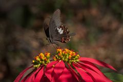 Common mormon butterfy sucking nectar. Common Mormon butterfly papilio polytes linnaeus, sucking nectar from fully bloomed red flower. Image shot in a forest Royalty Free Stock Images